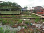 Invasão de Tilápia do Nilo ameaça peixes no Igarapé da Fortaleza, no AP