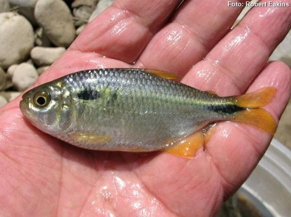 Astyanax-bimaculatus-lambari