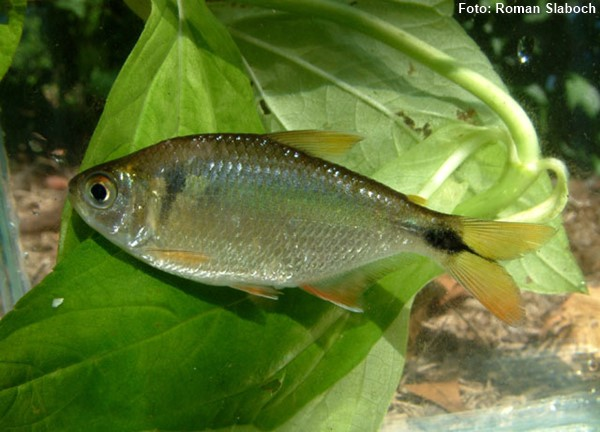 Astyanax-bimaculatus-lambari2