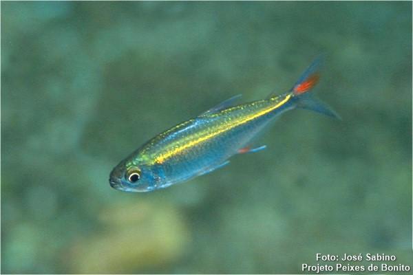Bryconamericus-exodon-lambari
