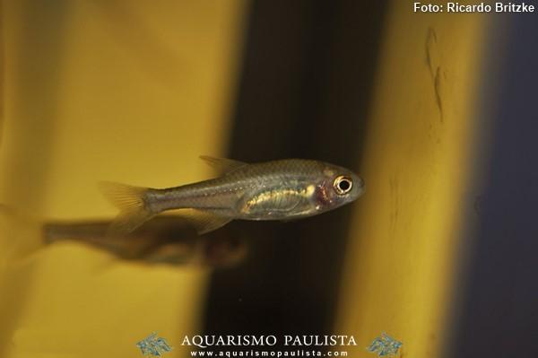 Coptobrycon-bilineatus-piabinha2
