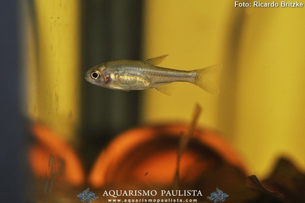 Coptobrycon-bilineatus-piabinha3