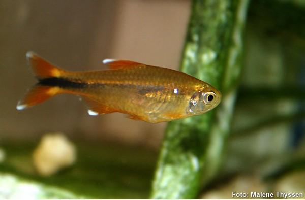 Hasemania-nana-tetra-cobre