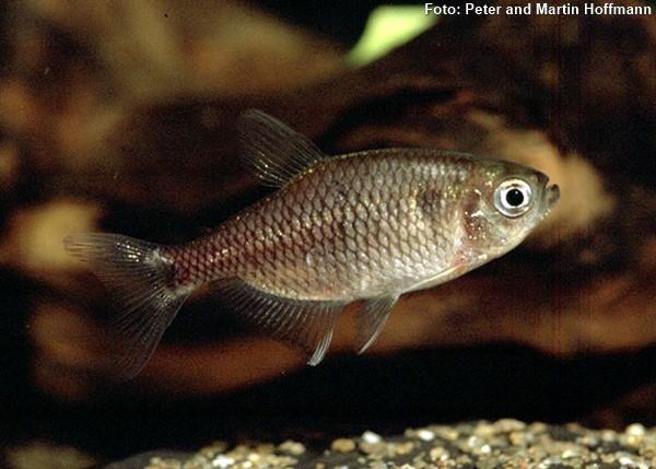 Hyphessobrycon-reticulatus-tetra2