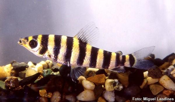 Leporinus-octofasciatus