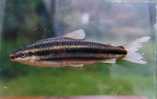 Leporinus-striatus2