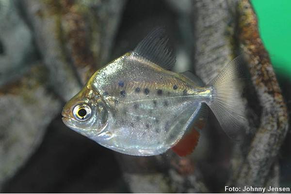Metynnis-maculatus-pacu