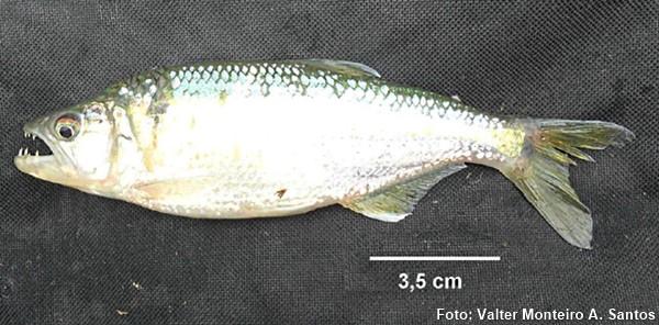 Espécime coletado no alto do rio Paraná em Minas Gerais