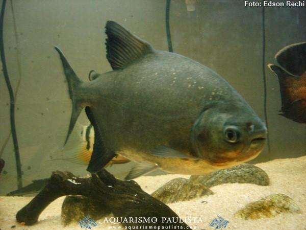 Piaractus-mesopotamicus-pacu-caranha2