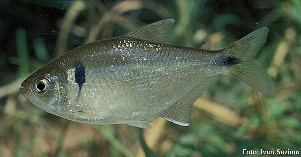 Espécime de 7.3 cm capturado no rio Paraibuna, cidade de Paraibuna (SP)