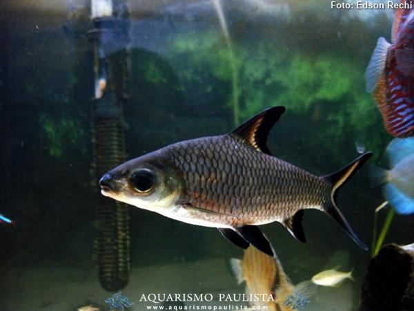 balashark-balantiocheilus-melanopterus