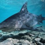 Tubarões de água doce