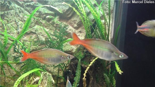 Sub-adultos em aquário