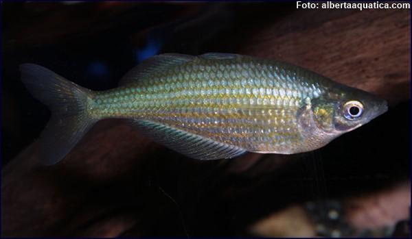 Espécime fêmea do lago Nenggwambu