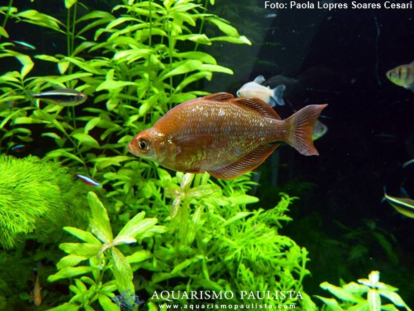glossolepis-incisus2
