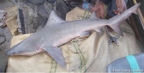 Glyphis garricki capturado na Austrália