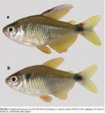 Uma nova espécie de Hyphessobrycon foi descrito na bacia do rio Madeira