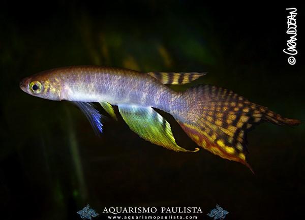 killi-aphyolebias-peruensis
