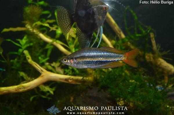 melanotaenia-australis