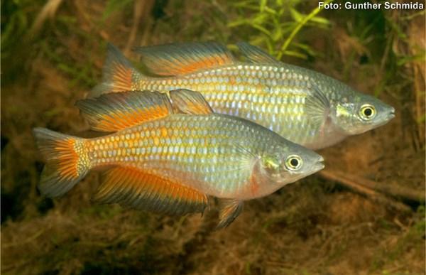 melanotaeniidae-parkinsoni