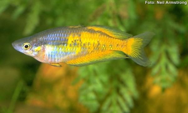 melanotaeniidae-parkinsoni2