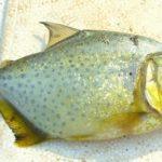 Piranha, Pirambeba (Serrasalmus maculatus)