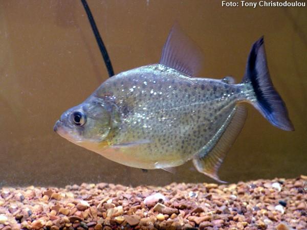 serrasalmus-marginatus-piranha