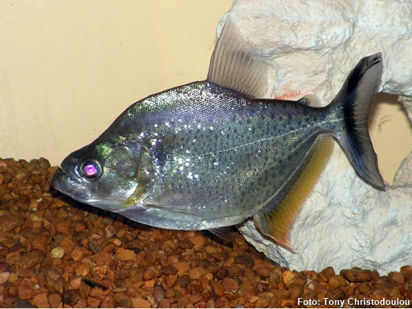 serrasalmus-marginatus-piranha2