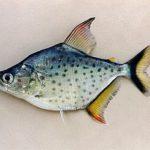 Piranha Branca (Serrasalmus marginatus)