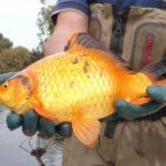 Na natureza, os peixinhos-dourados passam a ser pragas