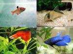Peixes indicados para iniciantes no aquarismo