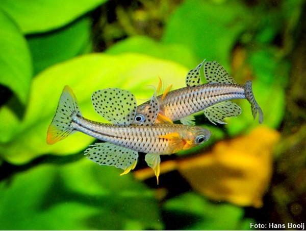 pseudomugil-gertrudae