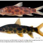 Duas novas espécies de Leporinus descritas