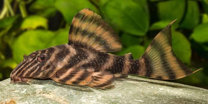 Panaqolus tankei da região Vitória do Xingu. Espécime vivo em aquário. Foto de R. Heidemann