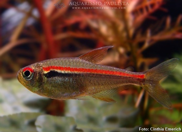 hyphessobrycon-amapaensis