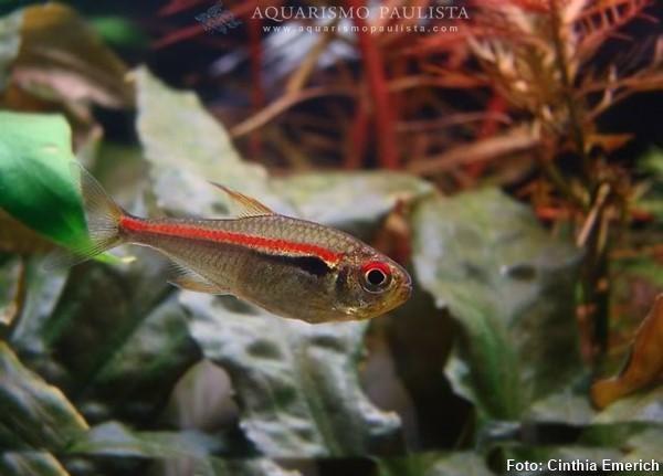 hyphessobrycon-amapaensis2