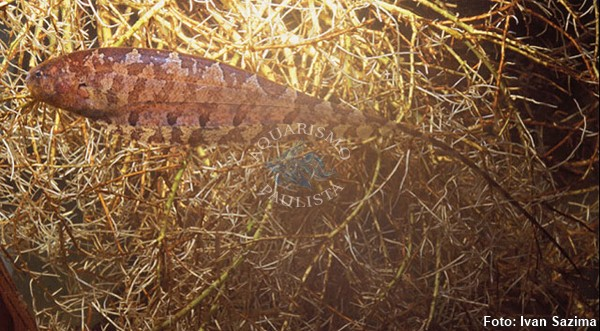 Espécime coletado na Fazenda Dimona (Manaus 2003)