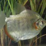 Peixe pode ter ligação com doença que causa dor muscular e urina preta