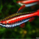 Peixe Lápis Vermelho (Nannostomus mortenthaleri)