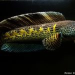 Snakehead (Channa aurantimaculata)