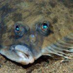 Como os peixes como o linguado veem o fundo do mar?
