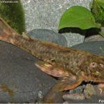 Cascudo Espinho (Hemipsilichthys gobio)