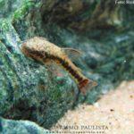 Limpa-vidro de Cauda Vermelha (Parotocinclus maculicauda)