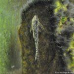 Cascudinho (Schizolecis guntheri)