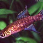 Killifish (Campellolebias dorsimaculatus)