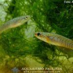 Killifish (Melanorivulus apiamici)