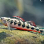 Snubnose darter (Etheostoma simoterum)