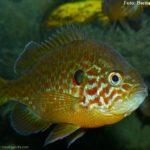 Peixe Sol (Lepomis gibbosus)