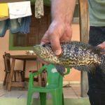 Novo tipo de peixe encontrado é ameaça a outras espécies no ES