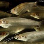 Peixe gato de vidro (Kryptopterus bicirrhis)